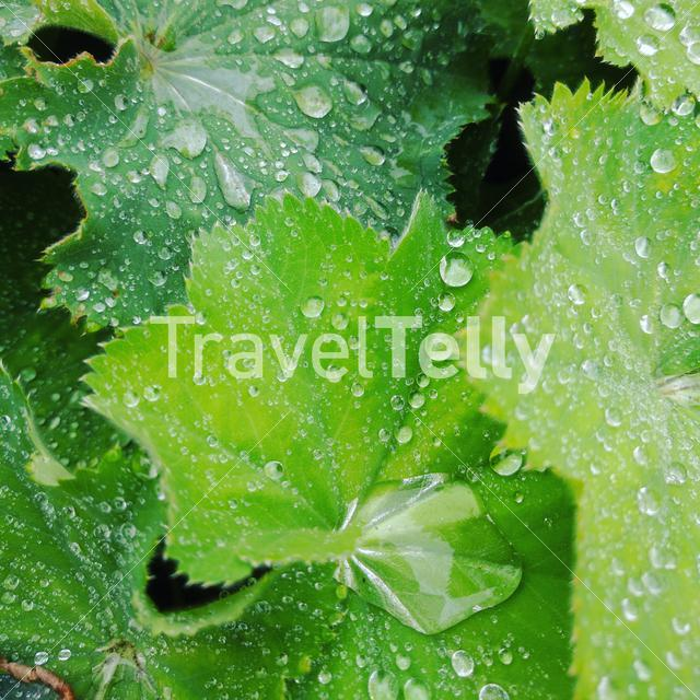 Close up from water drops on a leaf in The Netherlands