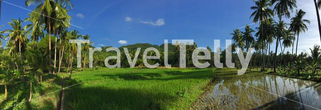 Panorama from a rice field with palmtrees reflection at the morning in Anda Bohol the Philippines