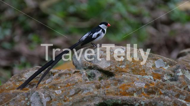 Pin-tailed whydah sitting on a rock