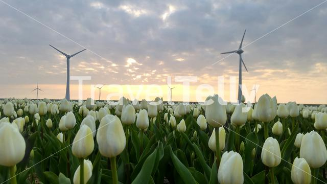 White tulips with sunset