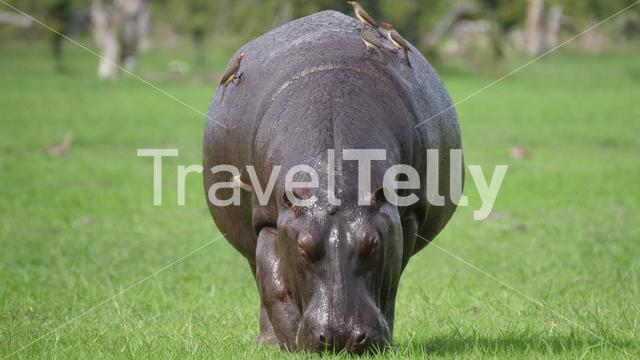 Hippo grazing with Yellow-billed oxpecker birds on his back
