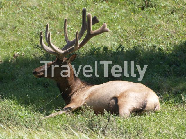 Elk laying in grass at Yellowstone National Park