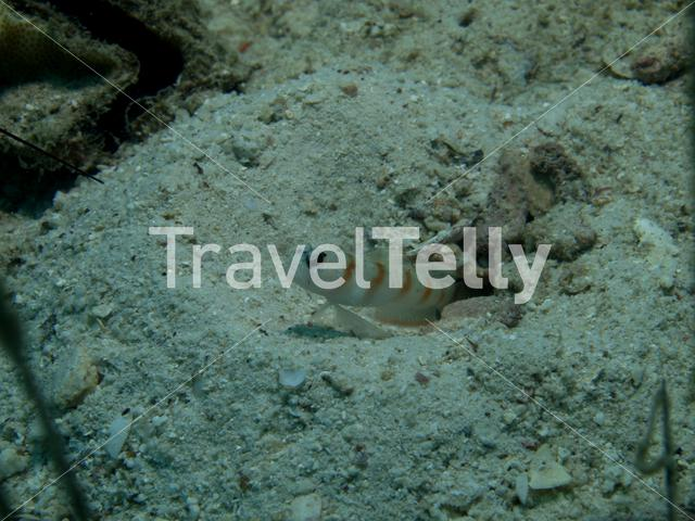 Watchman Goby in Ko Chang Thailand