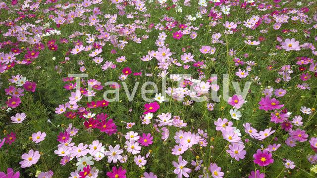 Close up from a field of pink and purple flowers in the Mountains of Lesotho Africa