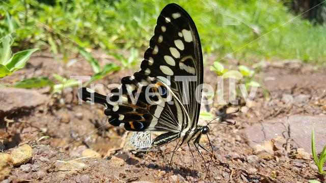 Close up from a butterfly at the Black Rocks at Pungo Andongo (Pedras Negras de Pungo Andongo) in Angola