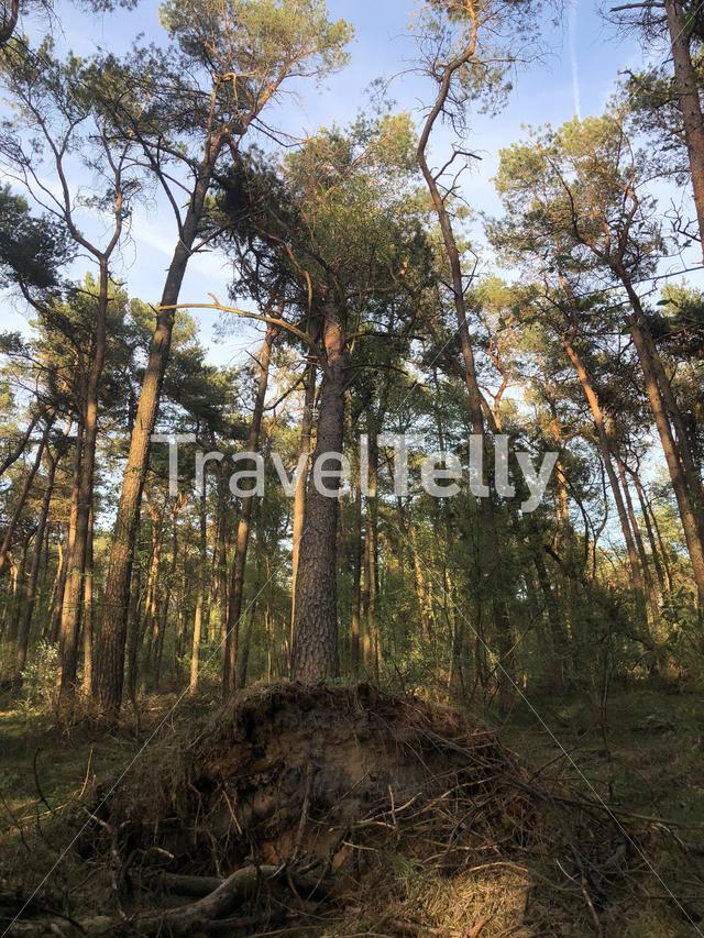 Tree after a storm in the forest at the National park Sallandse heuvelrug in Overijssel, The Netherlands