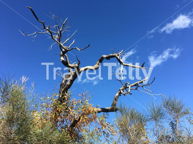 Death tree in the forest around Lampinou Greece