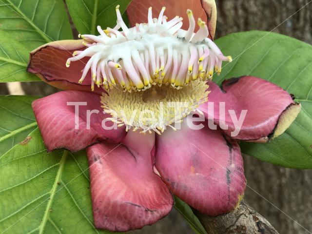Sala tree (Cannonball tree) flowers which is important in buddhism in Sri Lanka