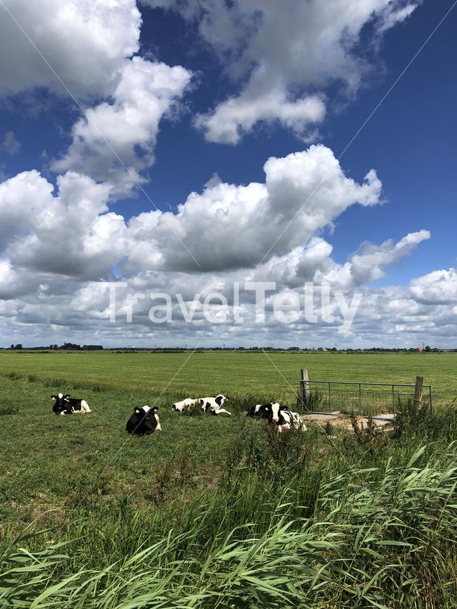 Cow calves in meadow in Friesland, The Netherlands