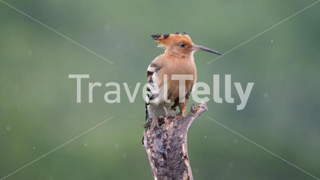 Hoopoes on a tree branch in Hlane Royal National Park, Swaziland