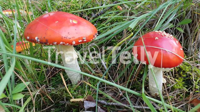 Red white dots mushrooms in woods of Netherlands