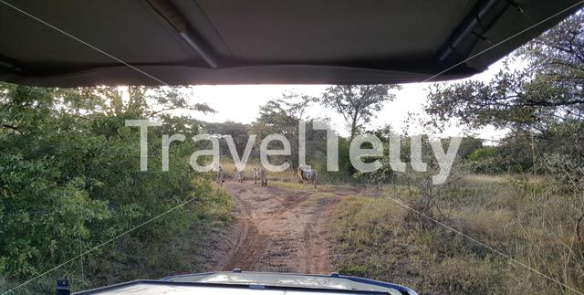 Herd of lions on dirt road in waterberg game park south africa