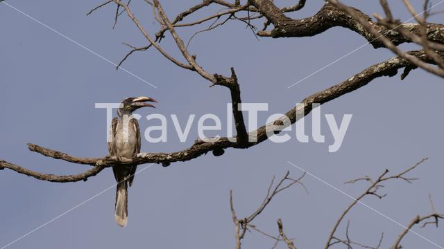 African Grey Hornbill on a branch in Kiang West National Park a National park in Gambia, Africa
