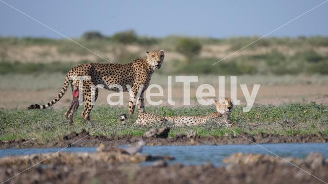 Cheetah couple with one wounded around a water hole at the Central Kalahari Game Reserve in Botswana