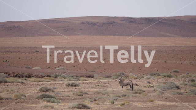 Lonely gemsbok on a dry savanna around Purros in Namibia
