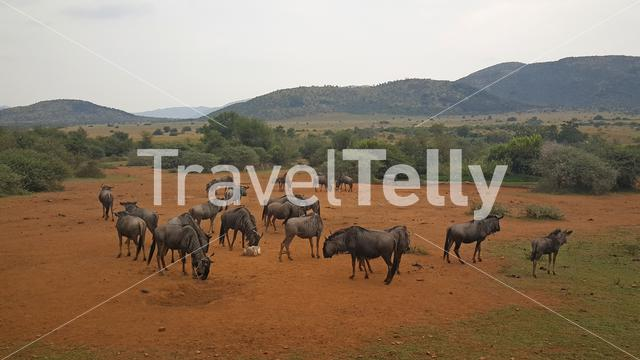 Group of wildebeest in Pilanesberg National Park South Africa