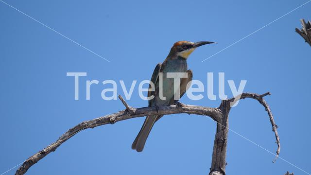 Close up from a Bee-eater on a tree branch