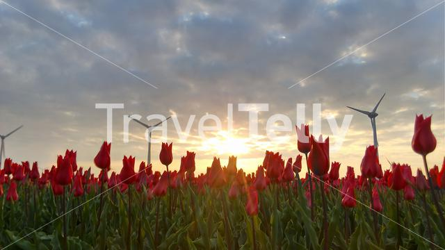 Tulips with sunset