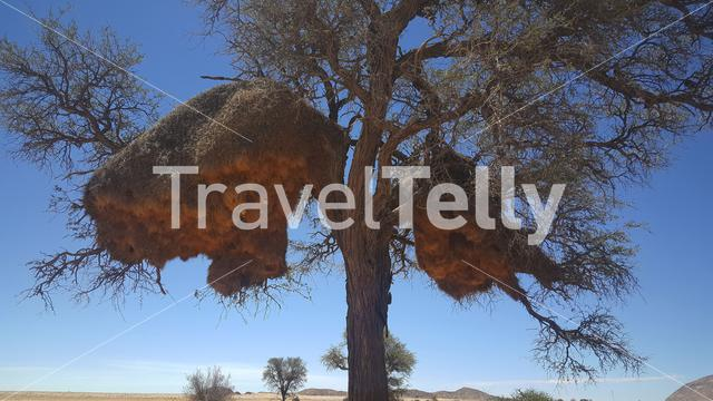 Huge weaver bird nest in a tree at Namib-Naukluft National Park, Namibia