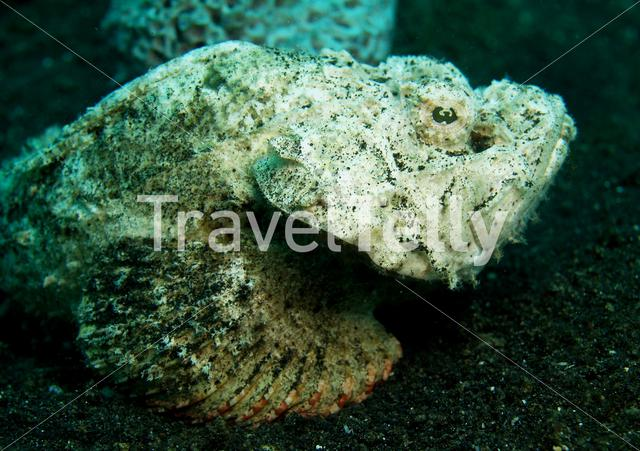 White Scorpion fish in Lembeh Sulawesi Indonesia