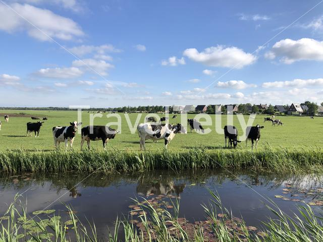 Cows in Friesland The Netherlands