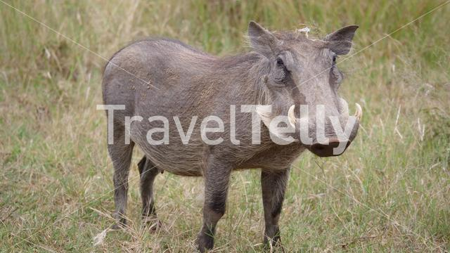 Warthog at the Pilanesberg National Park Game Reserve South Africa