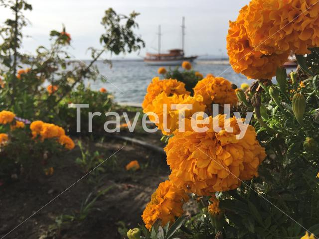 Orange Marigold plant with the harbour at the background in Neos Marmaras Greece
