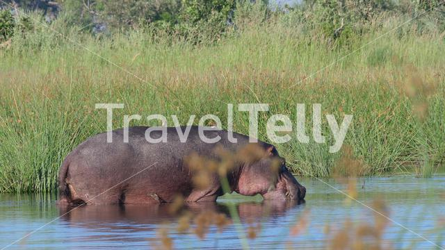 Hippo in a lake at Moremi Game Reserve, Botswana