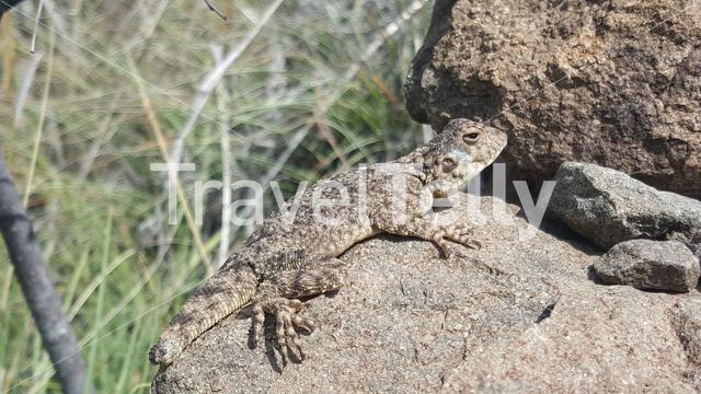 Bibron's thick-toed gecko on a rock in Lesotho