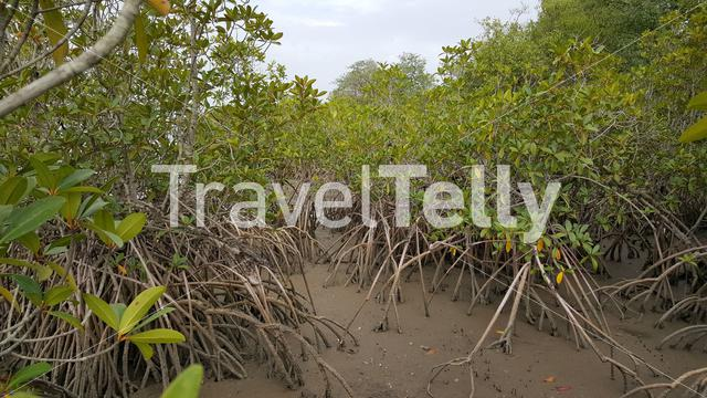 Mangrove trees in Kiang West National Park Gambia, Africa