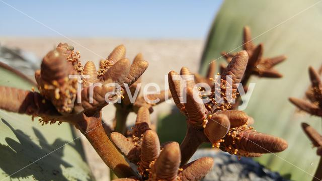 Close up from a Welwitschia mirabilis plant in Reserva de Namibe, Angola