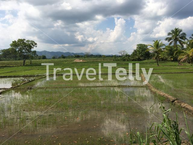 Paddy field landscape in Sri Lanka