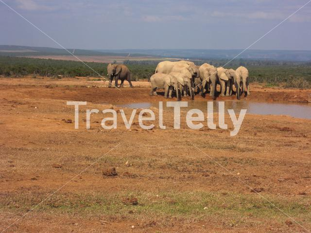 Group elephants at the water pool in Addo Elephants National Park South Africa