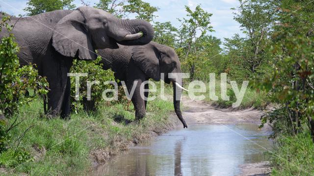 Elephants drinking water from a puddle