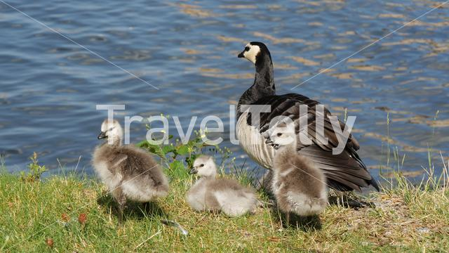 Canada geese with her young in Stockholm Sweden