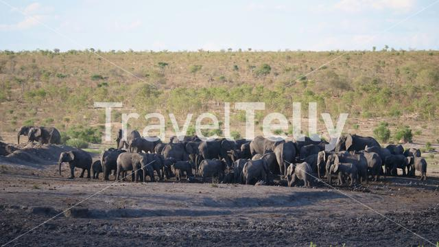 Big herd of African Bush elephants at a waterhole
