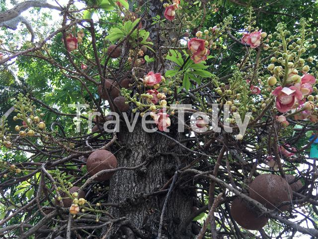 Sala tree (Cannonball tree) with flowers which is important in buddhism in Sri Lanka