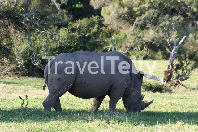 Rhino eating grass in South Africa