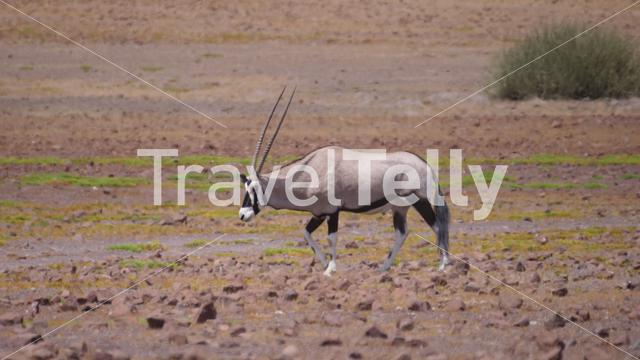 Gemsbok on a dry and hot savanna in Namibia