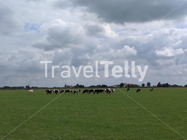 Cows in the Meadow at Friesland The Netherlands