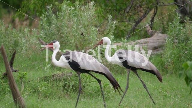 Wattled crane birds walking around