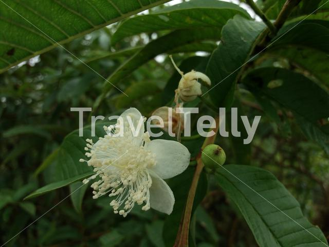 Guayaba is an introduce specie in galapagos with beautiful flowers