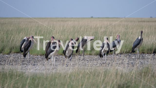 Group of Marabou storks at Khama Rhino Sanctuary in Botswana