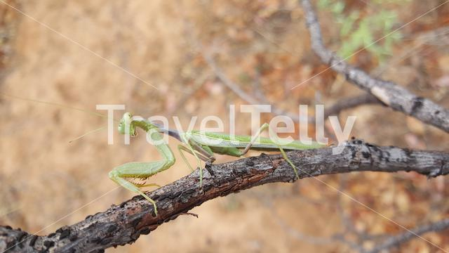 Praying mantis at the Tsodilo hills in Botswana