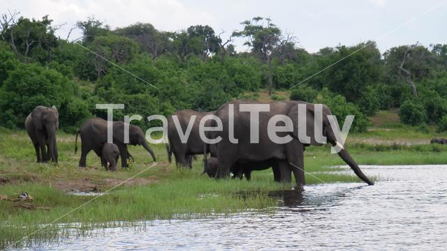 Herd of elephants standing in and drinking from a lake at Moremi Game Reserve, Botswana
