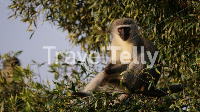 Vervet monkey in a tree at Waterberg National Park South Africa