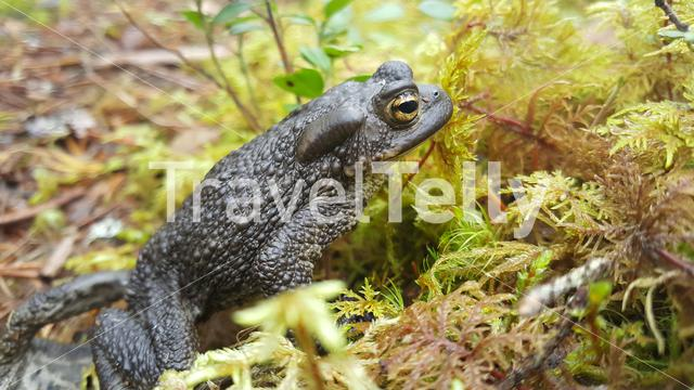 Common toad in Patvinsuo National Park Finland