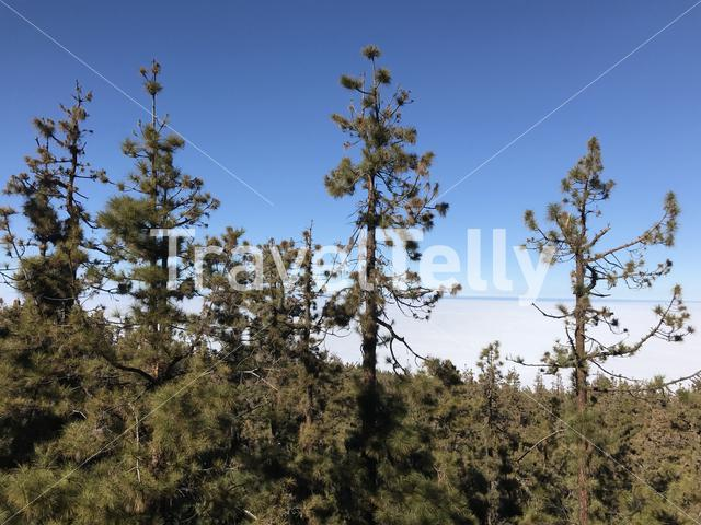 Forest above the clouds at Teide National Park on Tenerife