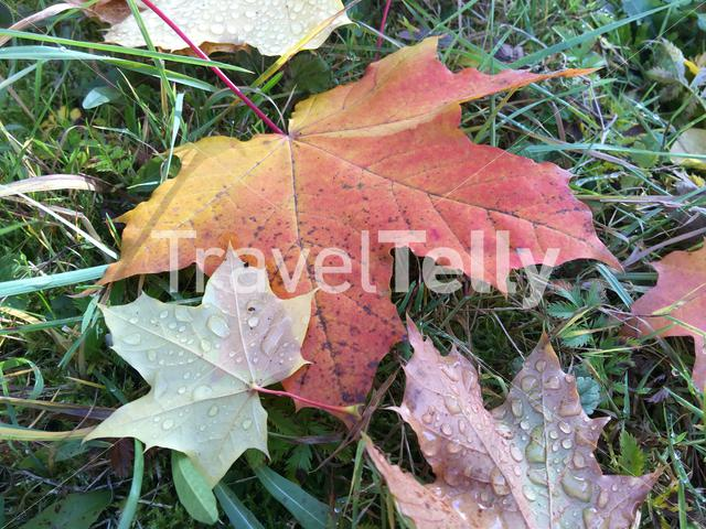 waterdrops on a leaf during autumn in Vatra Dornei Romania