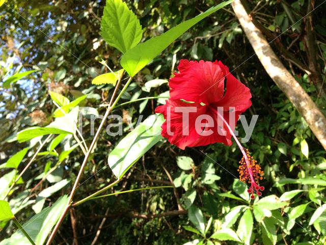 Red Hibiscus flower in Costa Rica